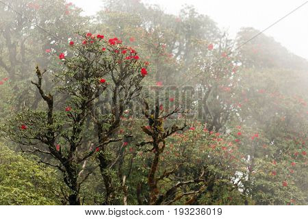 Rhododendron Arboreum blossom in a foggy day at the Doi Inthanon national park, Thailand