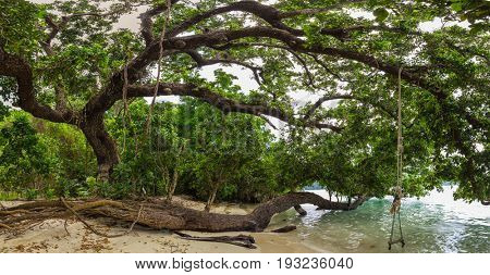 Large poison fish tree ( Barringtonia asiatica ) along the shore of the Koh Surin island, Thailand
