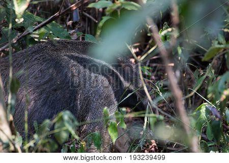 Giant Anteater at the Tambopata Reserve, Peru