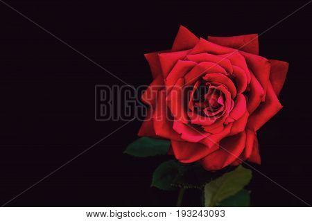 Single Rose On Black Background