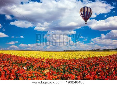 The  blossoming fields of red and yellow garden buttercups. The huge multi-color balloon slowly flies in clouds. Concept of rural and extreme tourism