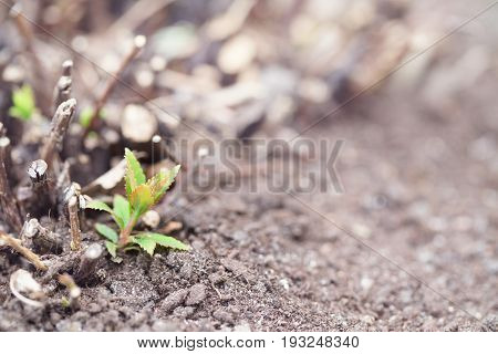 Spring sprout of a bush among the gray soil. Green sprout close up selective focus. It is toned