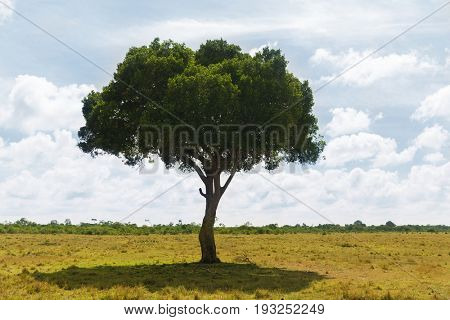 nature, landscape and wildlife concept - acacia tree in maasai mara national reserve savannah at africa