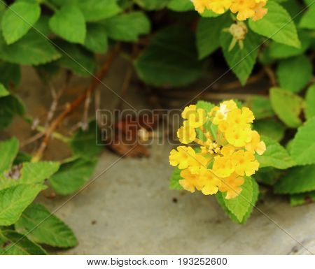 Yellow flower of Cloth of gold at wayside.