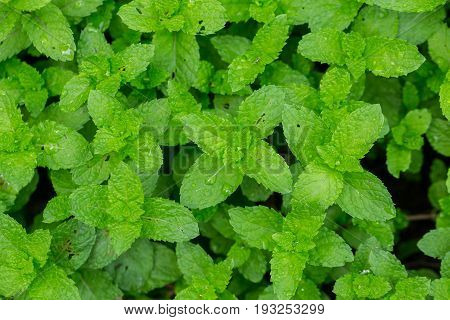 Peppermint Leaf,home Herbal Garden With Label, Nontoxic Clean Plant, Organic Vegetables For Food.
