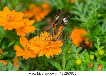 Yellow Butterfly Catch On Yellow Cosmos Flowers.