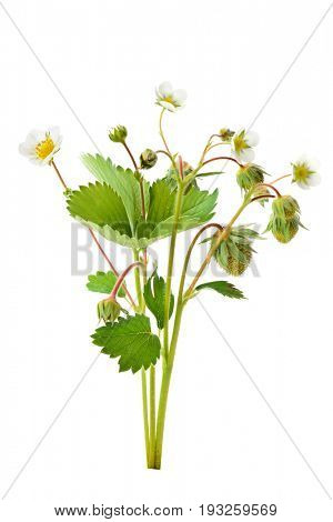Strawberry flowers and young berries isolated on white background poster