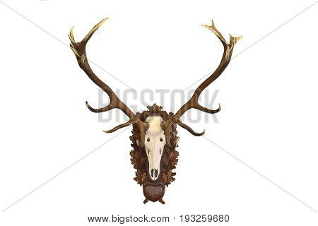 beautiful Cervus elaphus ( red deer buck ) hunting trophy isolated on white background