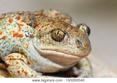 portrait of Pelobates fuscus colorful wild garlic toad macro image