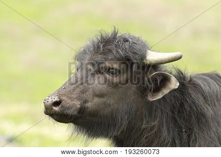portrait of juvenile domestic black bufffalo with nose full of flies ( Bubalus bubalis )