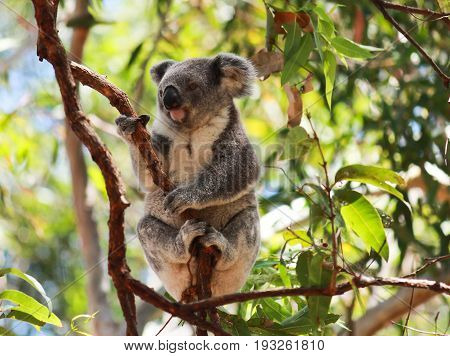Australian koala perched in branch of eucalyptus gumtree