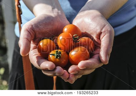 Hands holding some freshly harvested cherry tomatoes
