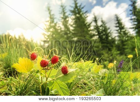 Wild strawberries bush  in a summer forest decor - Bush of wild strawberries in their natural environment on a sunny day of summer with sun rays falling on the berries.