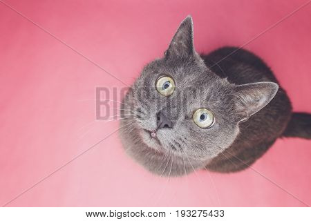grey cat sitting. grey cat on the pink background. cute grey cat looking at camera. funny grey cat top view