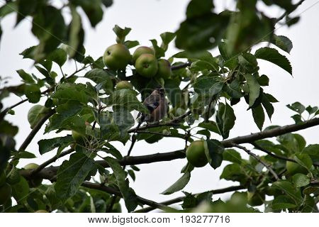 Image of a chaffinch in the bough of an apple tree