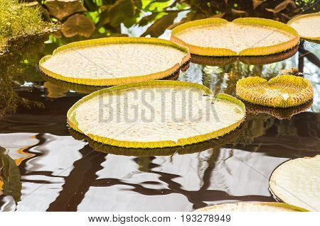 Giant Amazon water lily.Victoria Amazonica nature background
