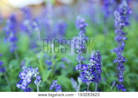 Blue wildflower with blurred background by macro lens. (shallow depth of field)
