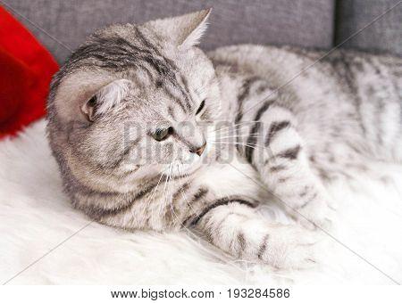A beautiful tabby cat is lying. Pedigree cat Scottish, British
