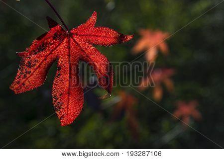 Leaf Of Liquidambar
