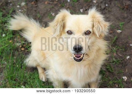 Beige mongrel sitting sideways on the grass