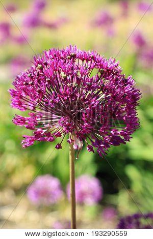 Beauty purple allium flowers in the garden