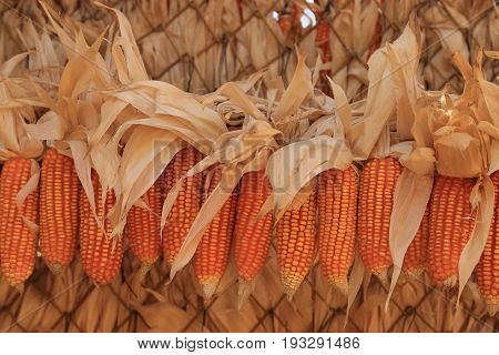 Yellow dried corns for feeding animal hanging in rows for use as background.