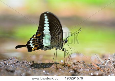 Banded Swallowtail Butterfly