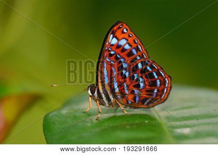 Lesser Harlequin Butterfly