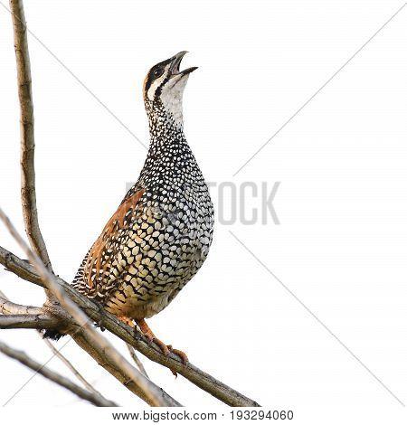 Chinese Francolin Bird