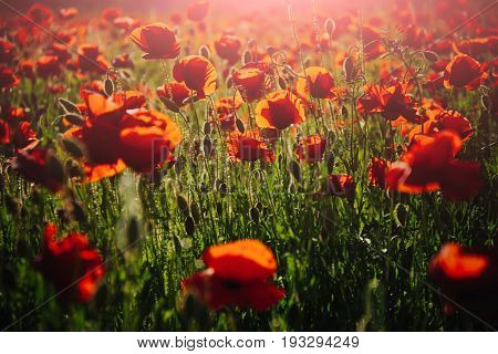 Morning In Field Of Red Poppy Seed Flower Background
