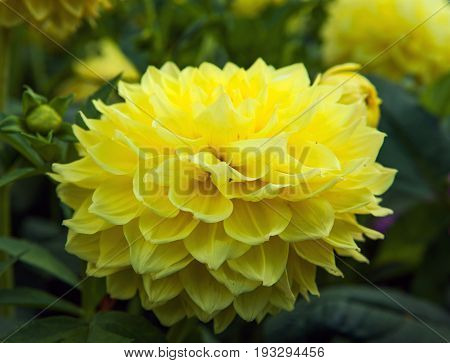 Yellow flower Dahlia with green leaf background