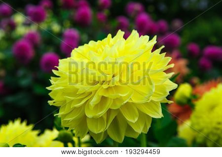 Yellow flower Dahlia in the garden on summer day
