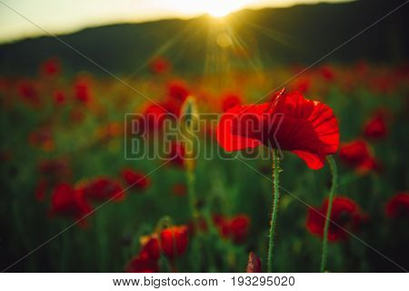 flower. field of red poppy seed on green stem as background summer and spring drug and love intoxication opium