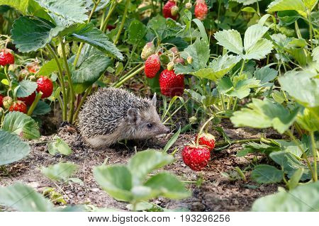 Curious young hedgehog Atelerix albiventris in the bushes of strawberries in garden among red berries