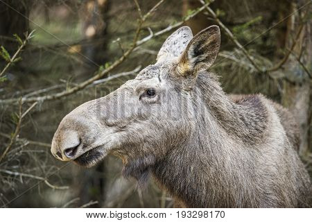 Alces alces - Moose, close up in nature