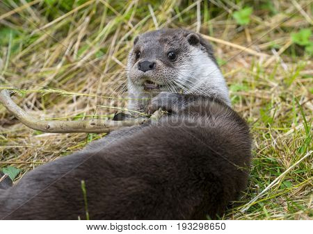 an otter - Lutra lutra in nature