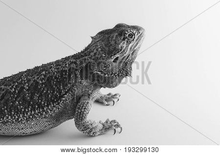 bearded dragon exotic pet reptile resting black and white