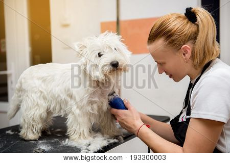 Grooming West Highland White Terrier professional hairdresser. Hairdresser mows Yorkshire Terrier fur on the ear with a trimmer
