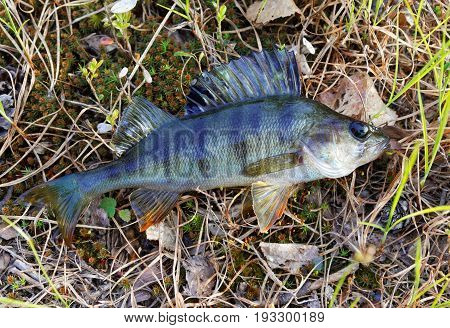 Living Siberian lake perch lying on the surface of the vegetation