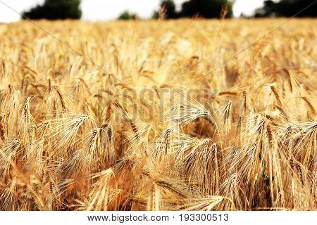 image of golden wheat field sundown evening