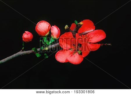 Red flowers and buds of Japanese Quince closeup on a black background. Greeting card selective soft focus.