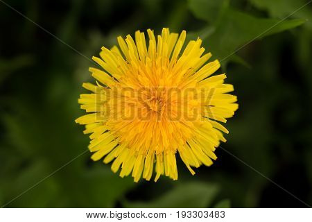 Dandelion Flower. Edible Weed Also Used Medicinally.
