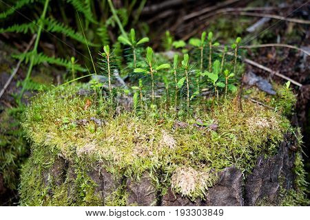 On the old stump grew its own forest with several small Christmas trees. Very interesting phenomenon. In such a small area there is a whole small forest. Its a separate world.
