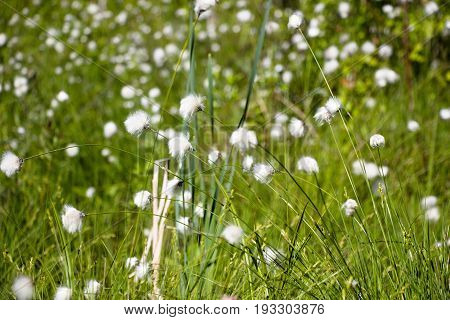 Glade of flowers in the forest similar to a dandelion field and belongs to the family of the Astrope. Grow at the water in very large numbers.