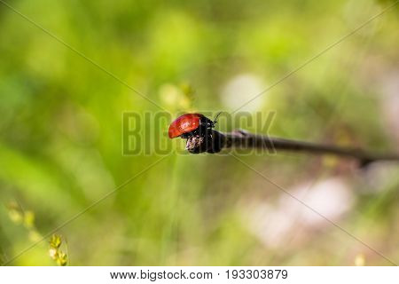 A small red beetle sitting on a branch in a clearing in the forest. Insects are very beautiful and harmless and a lot of them are impressive, like the beauty of this incredible beetle.