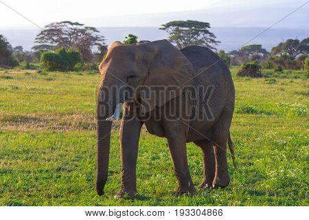 Big elephant in savanna Kenya. Amboseli, Kenya, Eastest Africa