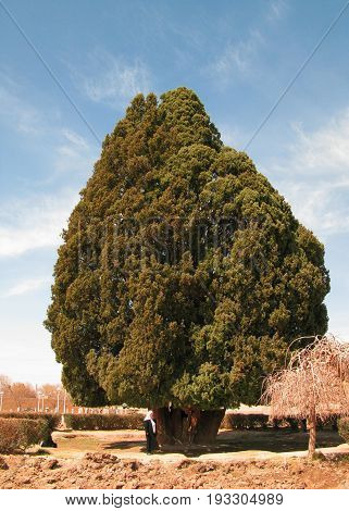 ancient living cypress tree, the Sarv-e-Abarqu in comparison with a local at Abarkuh , Iran