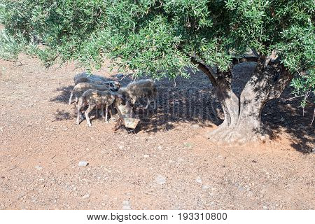 Sheeps eating from the trough under green olive tree in Crete, Greece