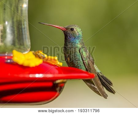 A dainty and beautiful Broad-billed Hummingbird perches momentarily on the side of a hummingbird feeder full of sugar water in an Arizona garden.