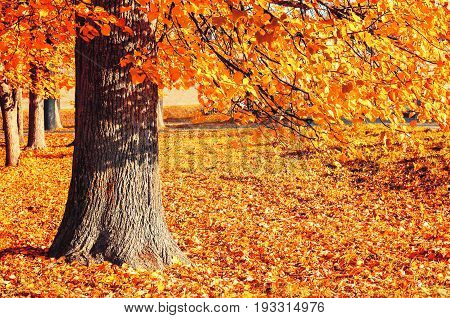 Autumn landscape of sunny autumn park in sunny weather - spreading autumn tree with fallen autumn leaves lit by sunshine. Autumn park in sunny autumn evening with golden autumn tree.Autumn nature